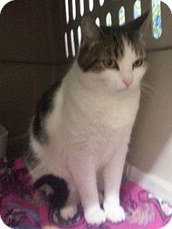 Domestic Shorthair Cat for adoption in Walnut, Iowa - Jewel