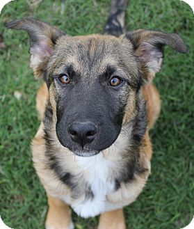 Leonberger/Shepherd (Unknown Type) Mix Puppy for adoption in Westport, Connecticut - *Chevy - PENDING