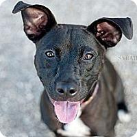 Adopt A Pet :: Hops - Reisterstown, MD
