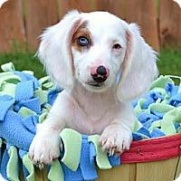 Adopt A Pet :: *Tyson - PENDING - Westport, CT