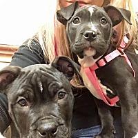Adopt A Pet :: Mickey - Las Vegas, NV