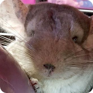 Chinchilla for adoption in Patchogue, New York - Chloe