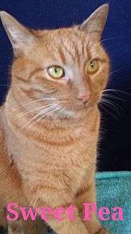Domestic Shorthair Cat for adoption in St. Louis, Missouri - Sweet Pea (Courtesy Posting)