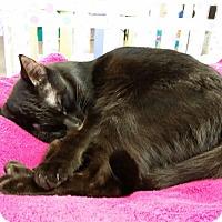 Adopt A Pet :: Sebastian - Maryville, TN