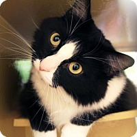 Adopt A Pet :: Tommy - Bellevue, WA