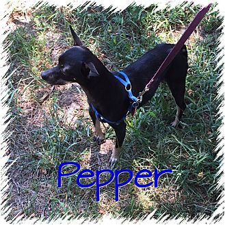 Chihuahua/Miniature Pinscher Mix Dog for adoption in Greensboro, Maryland - Pepper