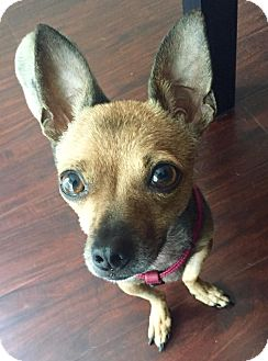 Chihuahua Dog for adoption in Los Angeles, California - Tulip