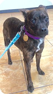 French Bulldog/Schipperke Mix Dog for adoption in Oak Ridge, New Jersey - Hope- LOVES DOGS