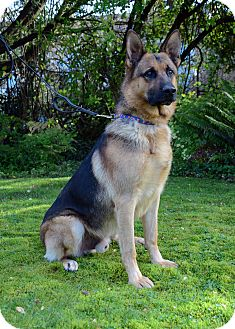German Shepherd Dog Dog for adoption in Woodinville, Washington - Enzo