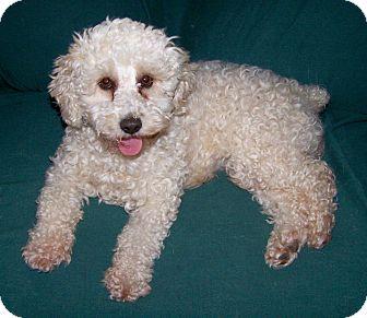 Bichon Frise Dog for adoption in San Angelo, Texas - Casey