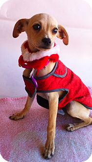 Italian Greyhound/Terrier (Unknown Type, Small) Mix Puppy for adoption in Irvine, California - SKY