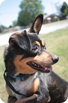 Chihuahua/Miniature Pinscher Mix Dog for adoption in Stilwell, Oklahoma - Molly