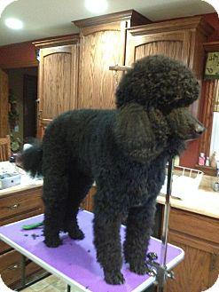 Standard Poodle Dog for adoption in Bay City, Michigan - Fella