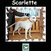 Adopt A Pet :: Scarlette - Fallston, MD