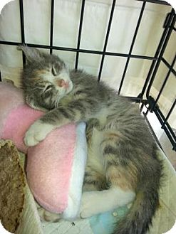 Domestic Shorthair Cat for adoption in Queens, New York - Kittens, kittens