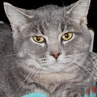 Domestic Shorthair Cat for adoption in Savannah, Missouri - Rudy