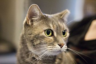 Domestic Shorthair Cat for adoption in Lincoln, Nebraska - Snookie