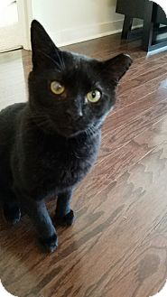 Domestic Shorthair Cat for adoption in Morristown, New Jersey - Steven