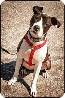 Pit Bull Terrier Mix Dog for adoption in Freeport, New York - Ariel