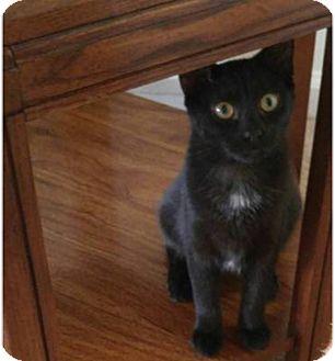 Domestic Shorthair Kitten for adoption in Hampton, Virginia - Jessie
