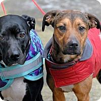 Adopt A Pet :: Ponsheena - Pottsville, PA