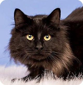 Domestic Mediumhair Cat for adoption in Cincinnati, Ohio - Robert