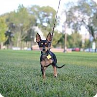 Adopt A Pet :: Cornelius - Salt Lake City, UT