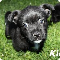 Adopt A Pet :: Kiley - Kansas City, MO