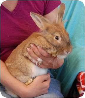 Lionhead Mix for adoption in Las Vegas, Nevada - Helen of Troy
