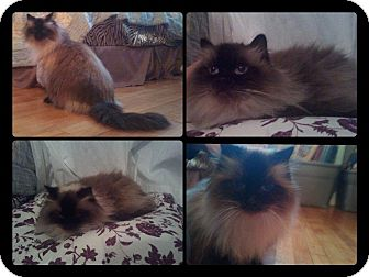 Himalayan Cat for adoption in bridgeport, Connecticut - Nonnie