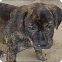 Adopt A Pet :: Cappaccino - Phoenix, AZ