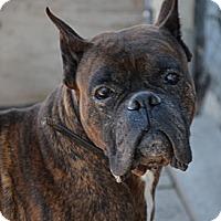 Adopt A Pet :: Norton - Rigaud, QC