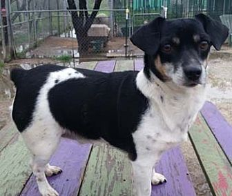Terrier (Unknown Type, Small) Mix Dog for adoption in Seguin, Texas - Scooter