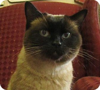 Siamese Cat for adoption in Lloydminster, Alberta - Nala