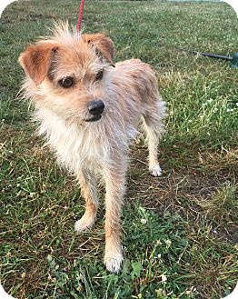 Terrier (Unknown Type, Small) Mix Dog for adoption in Tumwater, Washington - C.j