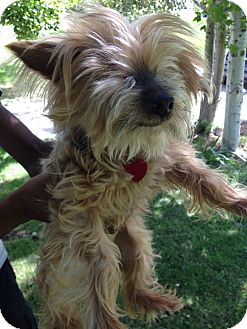 Yorkie, Yorkshire Terrier Mix Dog for adoption in West Valley, Utah - Emma