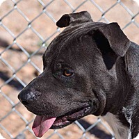 Bull Terrier Mix Dog for adoption in Sierra Vista, Arizona - Rowdy