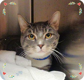 Domestic Shorthair Cat for adoption in Marietta, Georgia - BLUE