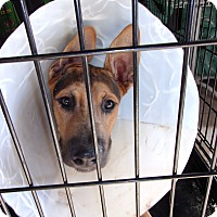 German Shepherd Dog Mix Dog for adoption in Arenas Valley, New Mexico - Roscoe