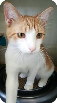 American Shorthair Cat for adoption in Lyons, Illinois - Donny