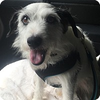 Adopt A Pet :: Clyde in Houston - Houston, TX