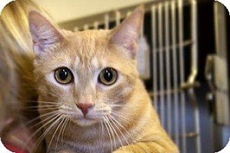 Domestic Shorthair Cat for adoption in Canoga Park, California - Mackenzie