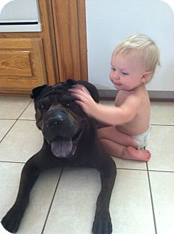 Shar Pei Dog for adoption in Mira Loma, California - Mugsy in Texas