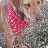 Adopt A Pet :: Punky - Conway, AR