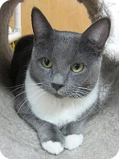 Domestic Shorthair Cat for adoption in Norwalk, Connecticut - Naomi