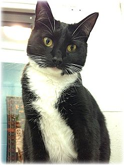 Domestic Shorthair Cat for adoption in Huntington, New York - Violet