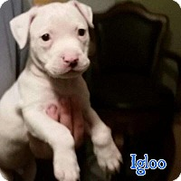 Adopt A Pet :: Igloo - Marietta, GA