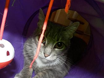 Domestic Shorthair Cat for adoption in Prescott, Arizona - Muffy