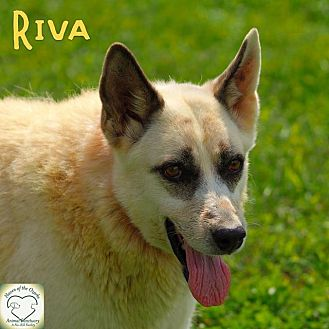 Shepherd (Unknown Type)/Husky Mix Dog for adoption in Washburn, Missouri - Riva