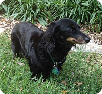 Dachshund Dog for adoption in San Antonio, Texas - Adeline